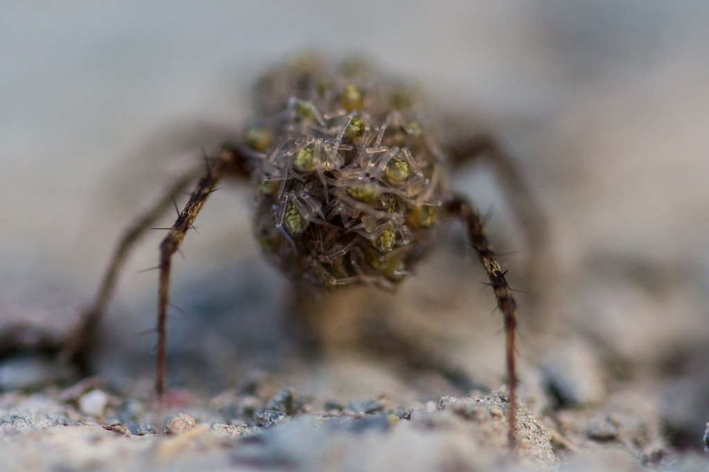 Spider mama