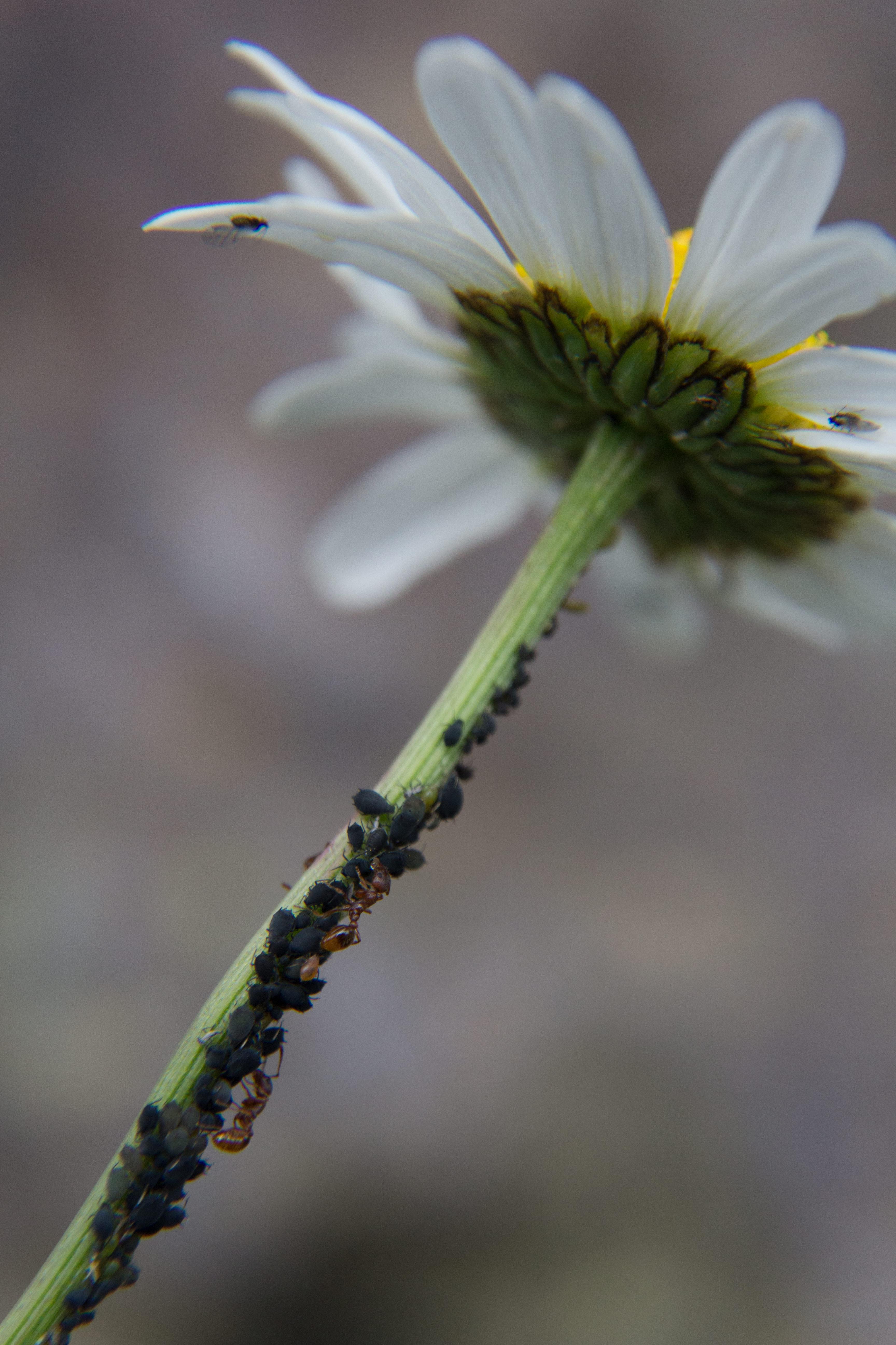 schwarze Blattlaus